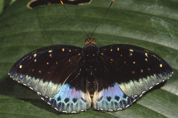 Lexias pardalis - The Common Archduke