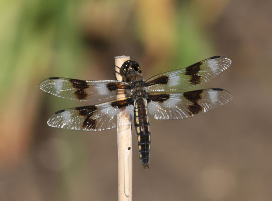 Libellula forensis - The Eight-spotted Skimmer)