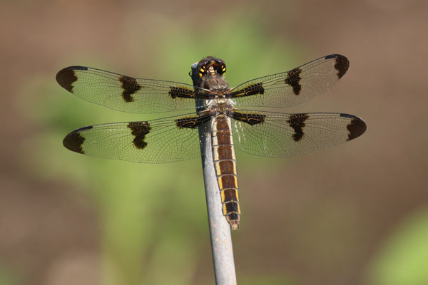 Libellula pulchella - The Twelve-spotted Skimmer)