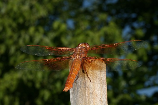 Libellula saturata, male - The Flame Skimmer, a dragonfly
