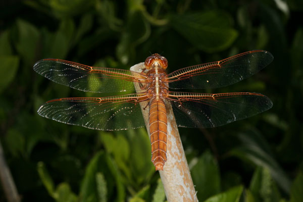 Libellula saturata, female - The Flame Skimmer, a dragonfly