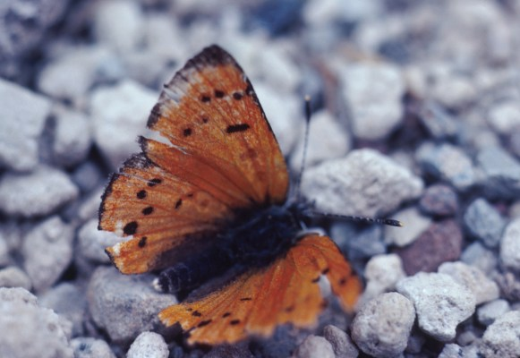 Lycaena cupreus cupreus - The Lustrous Copper