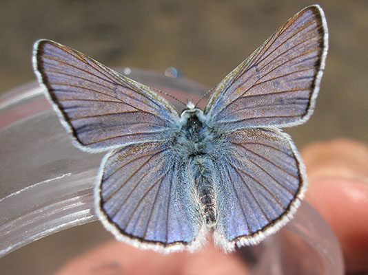 Lycaena h. heteronea - The Blue Copper
