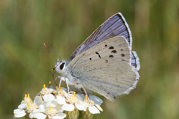 Lycaena heteronea rava - The Blue Copper