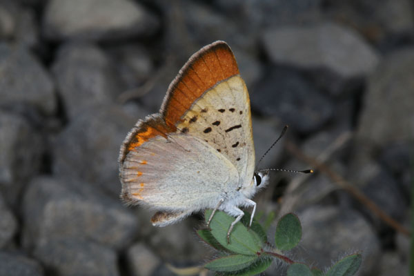 Lycaena n. nivalis - The Lilac-bordered Copper