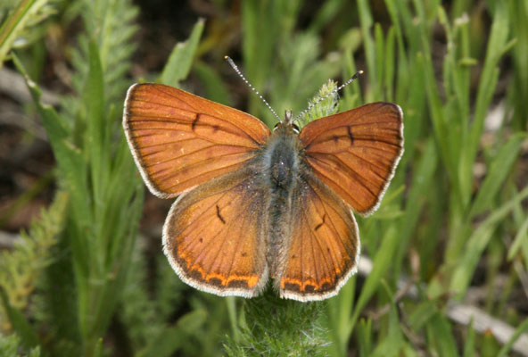 Lycaena r. rubidus - The Ruddy Copper