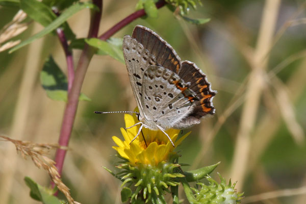 Lycaena xanthoides nigromaculata - The Great Copper