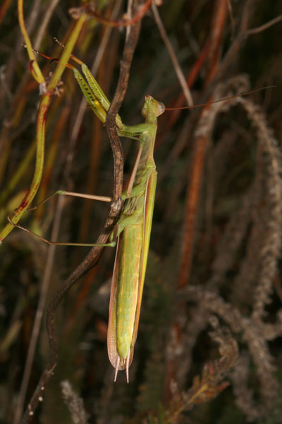 Mantis religiosa - The European Mantis