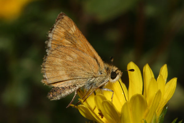 Ochlodes s. sylvanoides - The Woodland Skipper