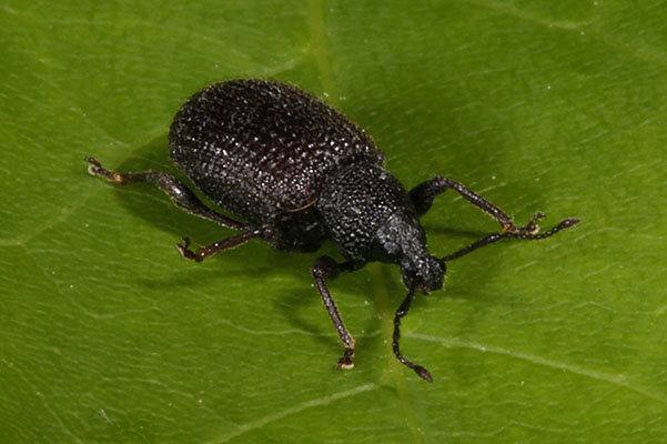 Otiorhynchus rugosostriatus - The Rough Strawberry Root Weevil