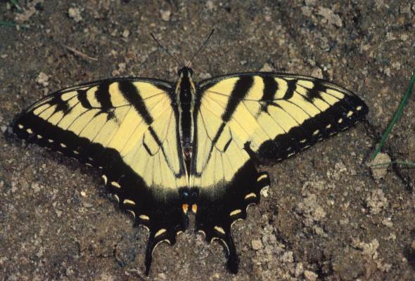 Papilio glaucus - The Tiger Swallowtail
