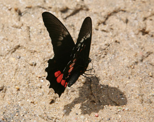Papilio anchisiades idaeus - The Ruby-spotted Swallowtail