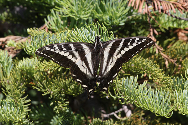 Papilio eurymedon - The Pale Swallowtail