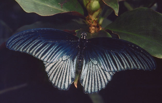 Papilio memnon - The Great Mormon