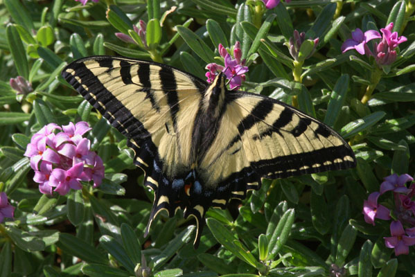 Papilio rutulus - The Western Tiger Swallowtail
