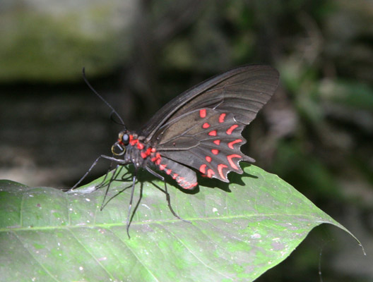Parides photinus - The Red-spotted Cattleheart