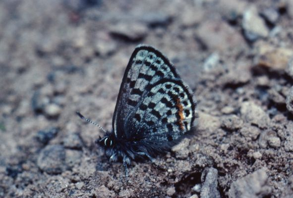 Philotes battoides battoides - The Square-spotted Blue