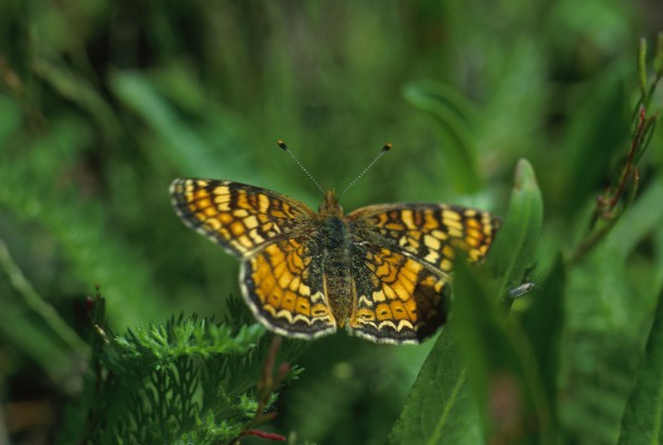 Phyciodes orseis herlani (The Sierra Nevada Crescent)