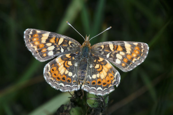 Phyciodes pulchella owimba - The Field Crescent