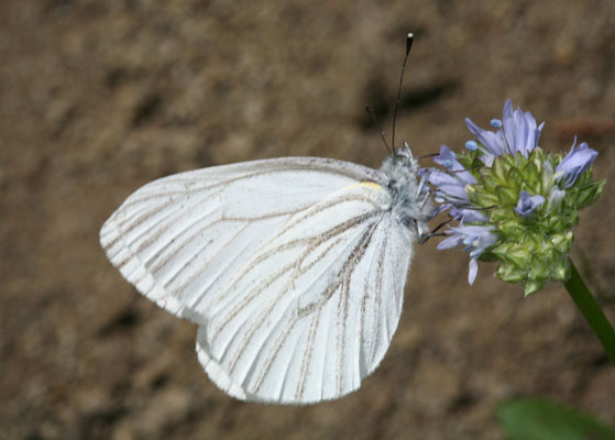Pieris marginalis castoria - The Margined White