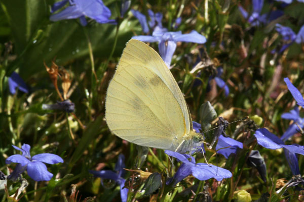 Pieris r. rapae - The Cabbage Butterfly
