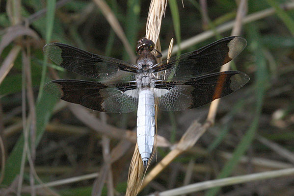 Plathemis lydia - The Common Whitetail)