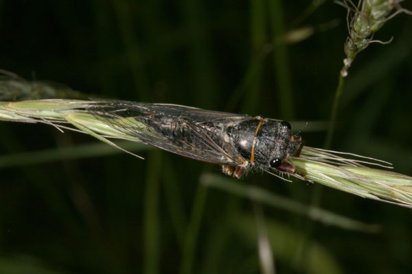 Platypedia minor - The Minor Cicada