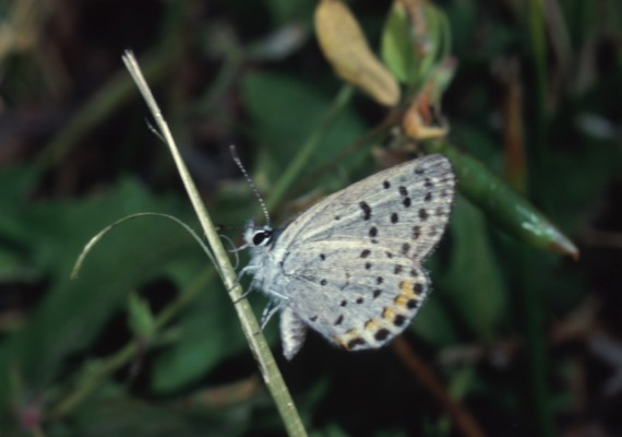 Plebejus acmon acmon - The Acmon Blue