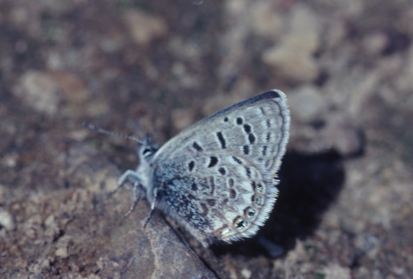 Plebejus shasta shasta - The Shasta Blue