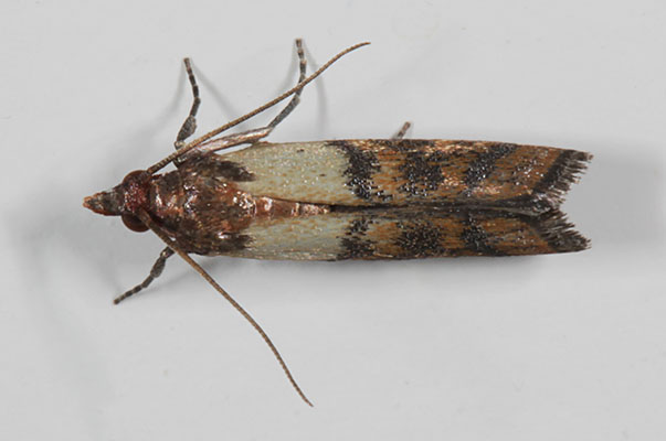 Plodia interpunctella - The Indian Meal Moth