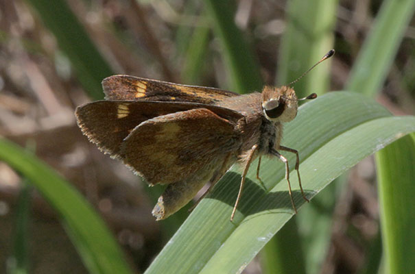 Poanes melane melane - The Umber Skipper