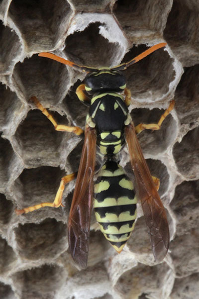 Polistes_dominula - The European Paper Wasp