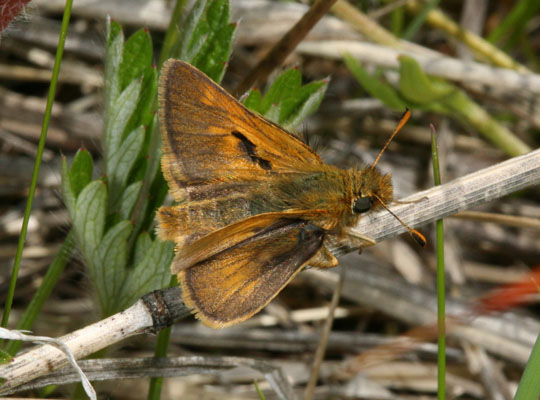 Polites mardon klamathensis - The Mardon Skipper