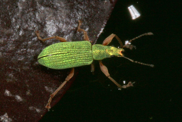 Polydrusus impressifrons - The Pale Green Weevil