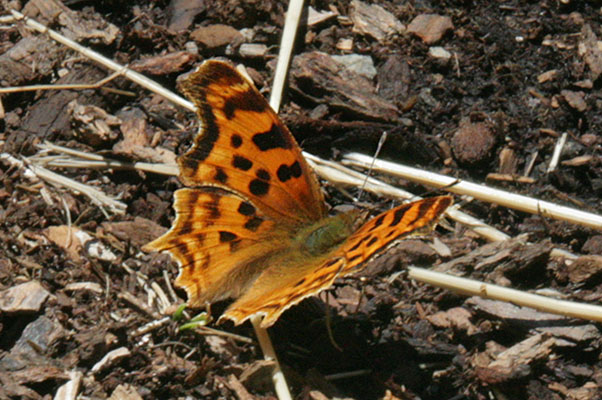 Polygonia satyrus neomarsyas - The Satyr Comma