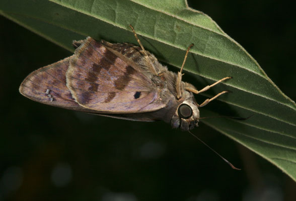 Polygonus l. leo - The Hammock Skipper