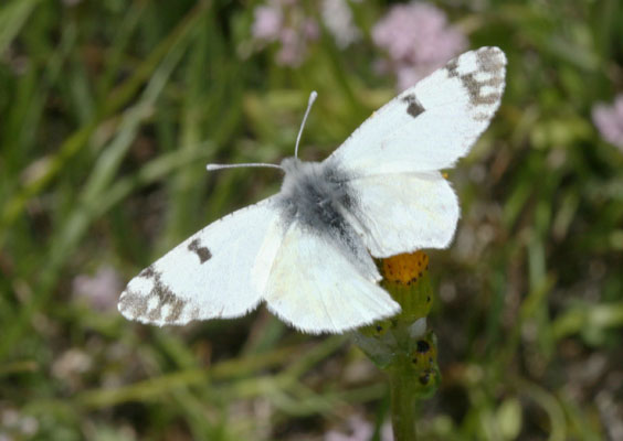 Pontia occidentalis - The Western White