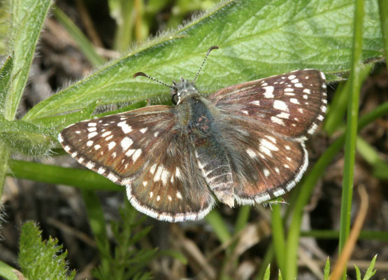 Pyrgus communis - The Common Checkered Skipper