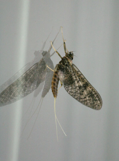 Rhithrogena morrisoni - The March Brown Mayfly