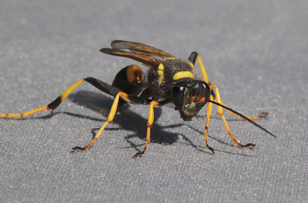 Sceliphron caementarium - The Yellow and Black Mud Dauber