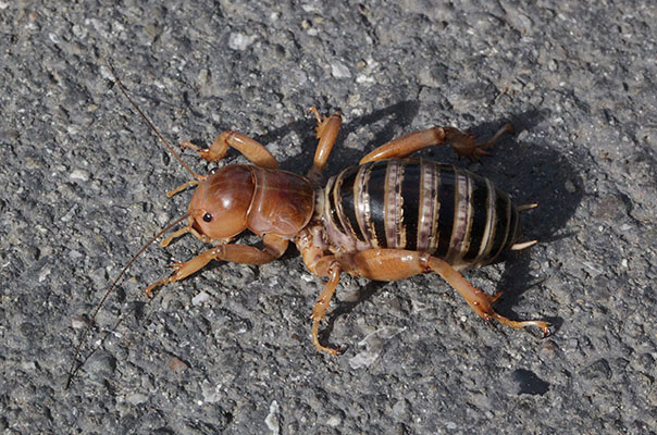 Stenopelmatus fuscus (The Jerusalem Cricket)