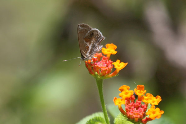 Strymon b. bazochii - The Lantana Scrub-Hairstreak