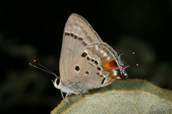 Strymon c. columella - Hewitson's Hairstreak