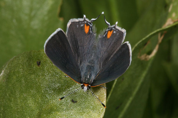 Strymon melinus atrofasciata - The Gray Hairstreak