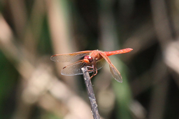 Sympetrum illotum - The Cardinal Meadowhawk