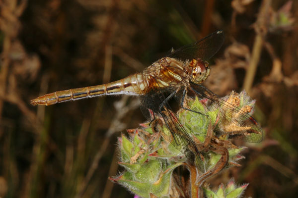 Sympetrum pallipes - The Striped Meadowhawk