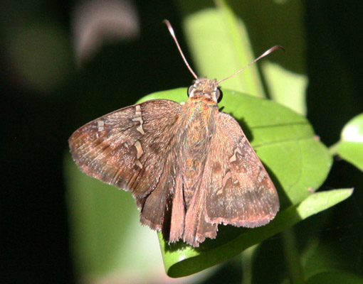 Thorybes bathyllus - The Southern Cloudywing
