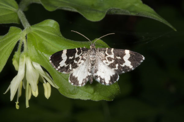 Trichodezia californiata - The White-striped Black Moth