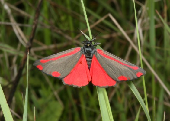 Tyria jacobaeae - The Cinnabar Moth