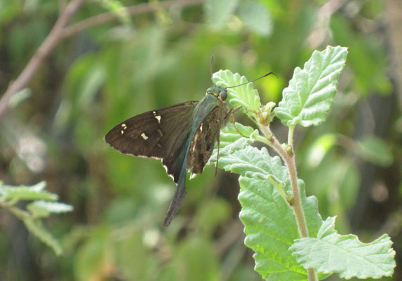 Urbanus proteus domingo - The Long-tailed Skipper